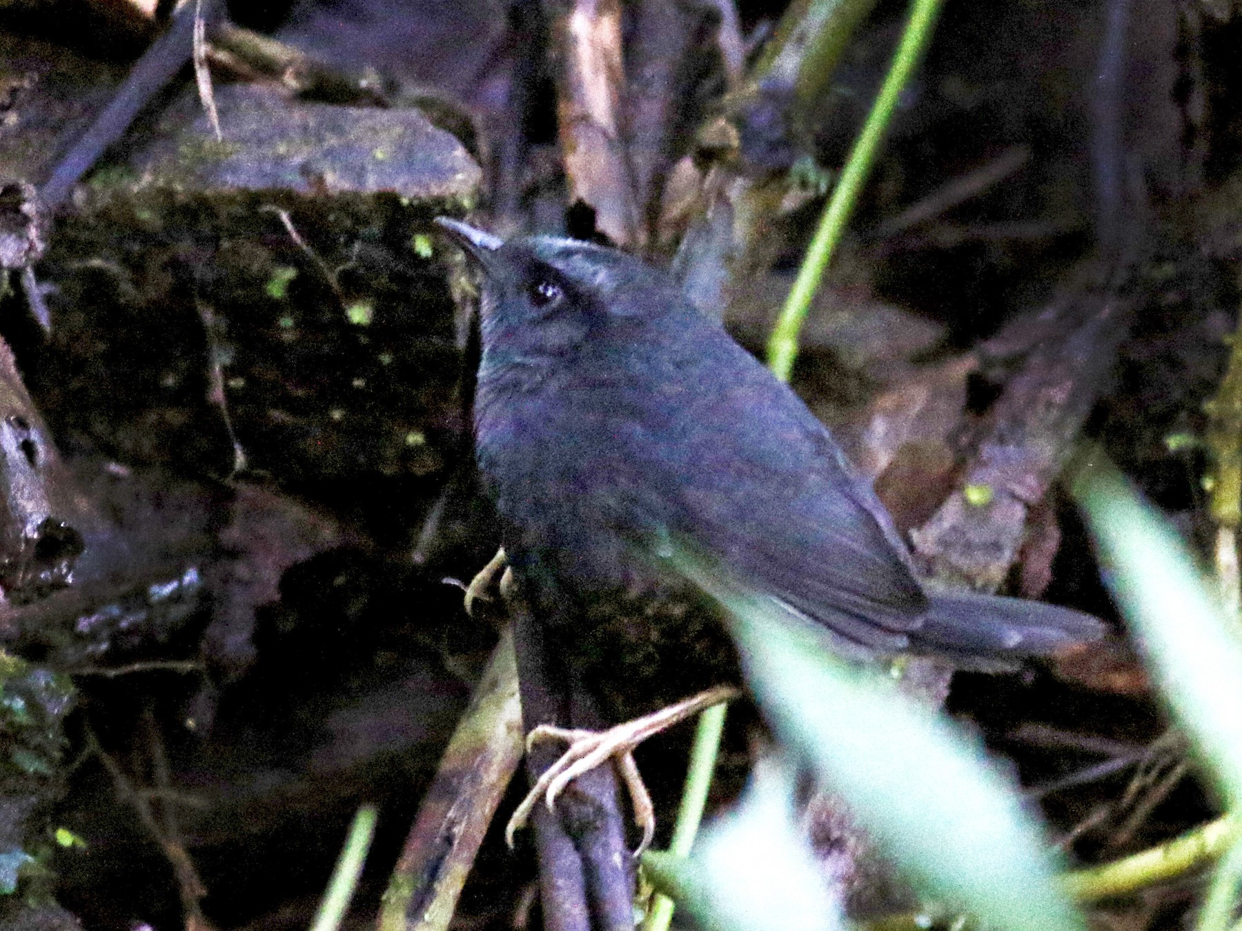 Silvery-fronted Tapaculo - Jay McGowan