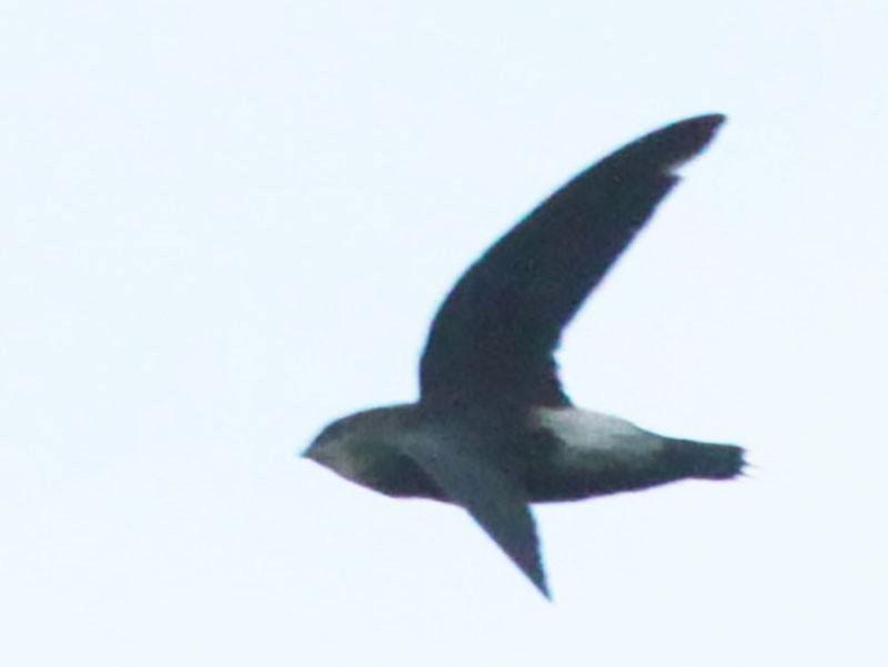 Costa Rican Swift - Johan Chaves