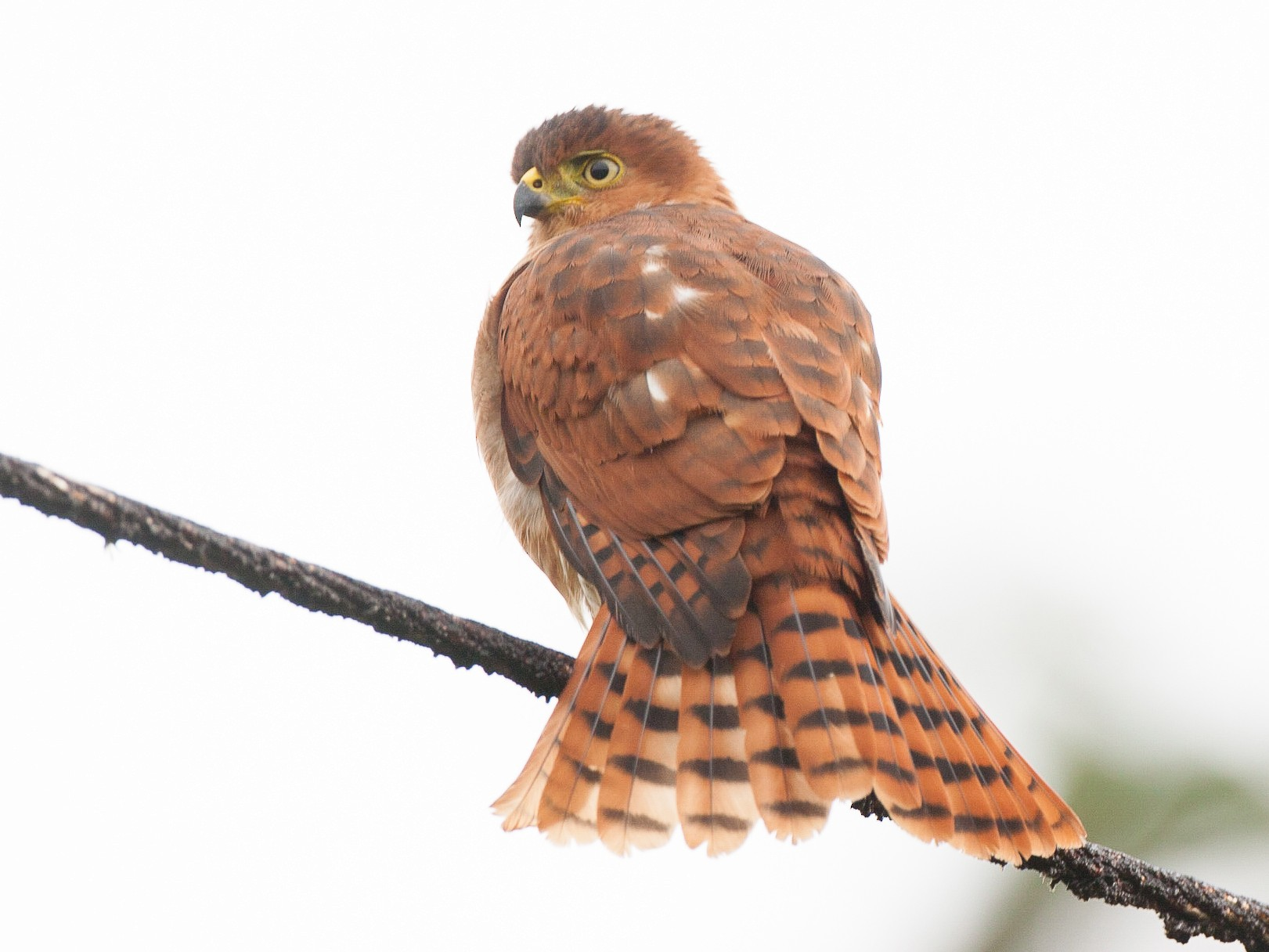 Tiny Hawk - Chris Wood