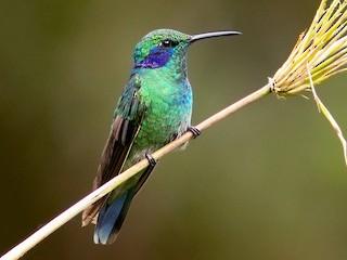 - Lesser Violetear (Andean)