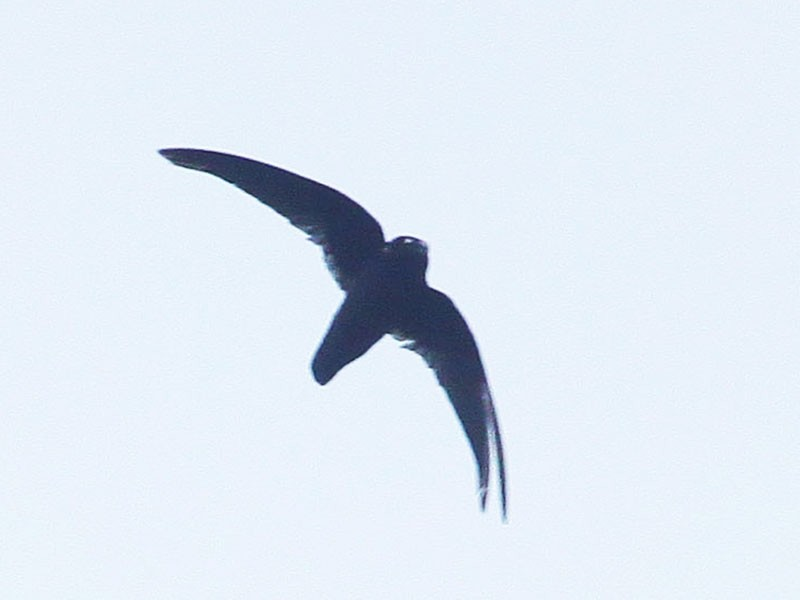 Spot-fronted Swift - Johan Chaves