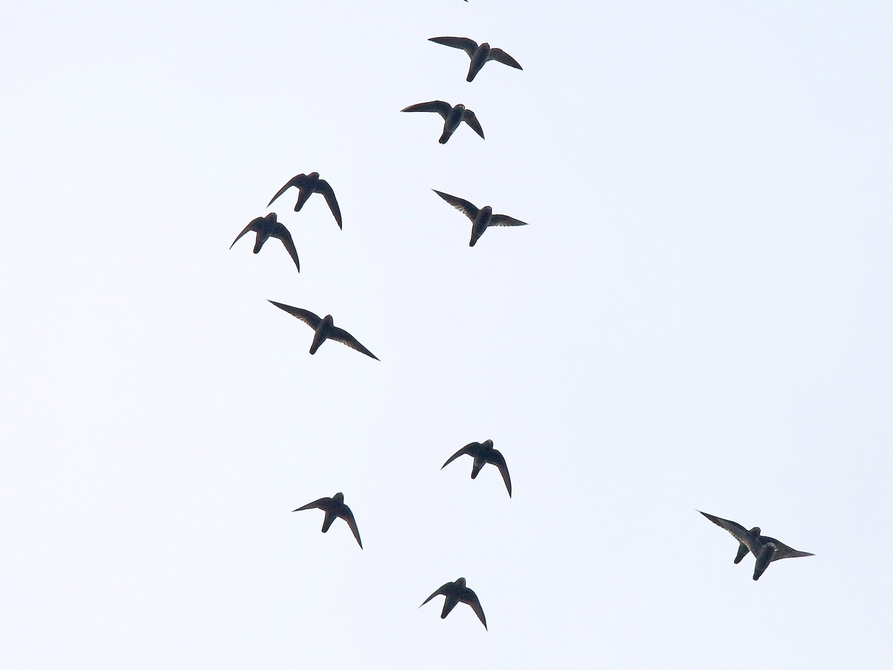 Spot-fronted Swift - Roger Ahlman