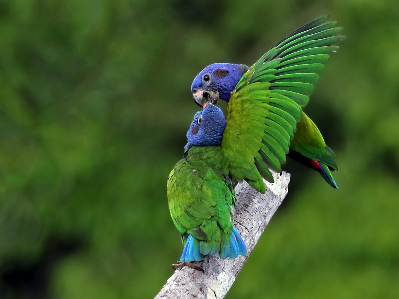 Blue-headed Parrot - Andrew Spencer