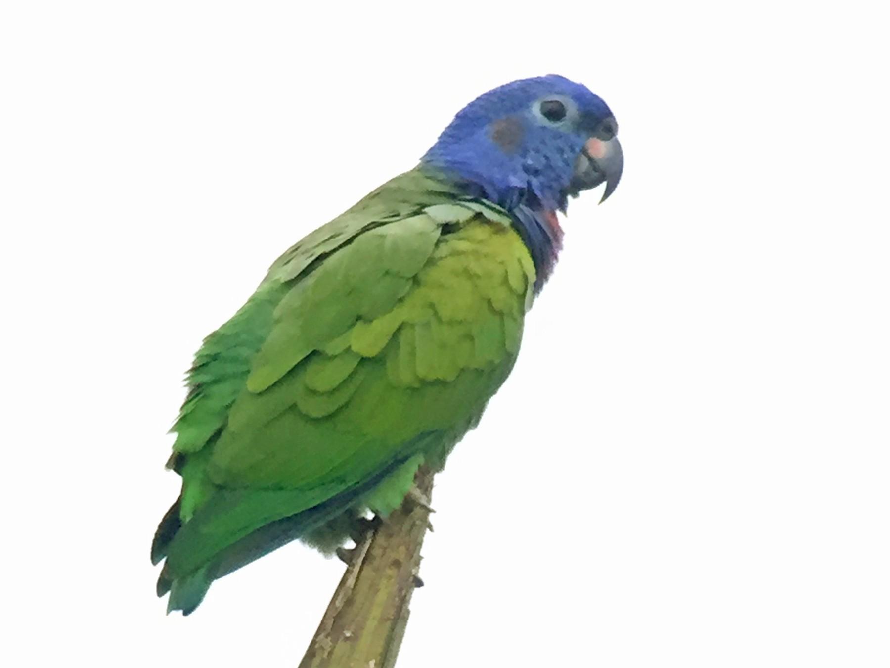Blue-headed Parrot - javier arias villota