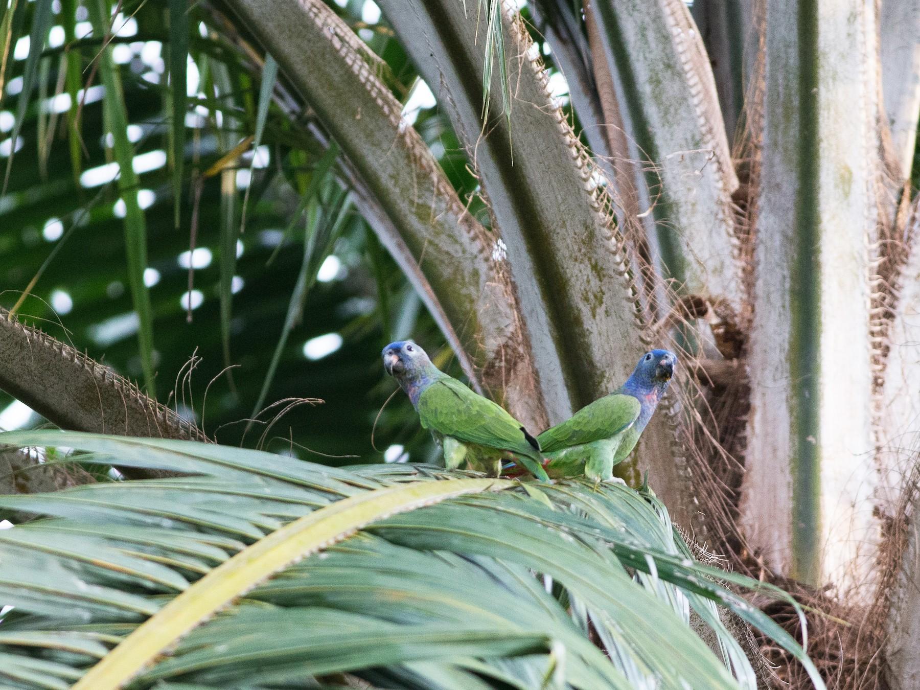 Blue-headed Parrot - Chris Wood