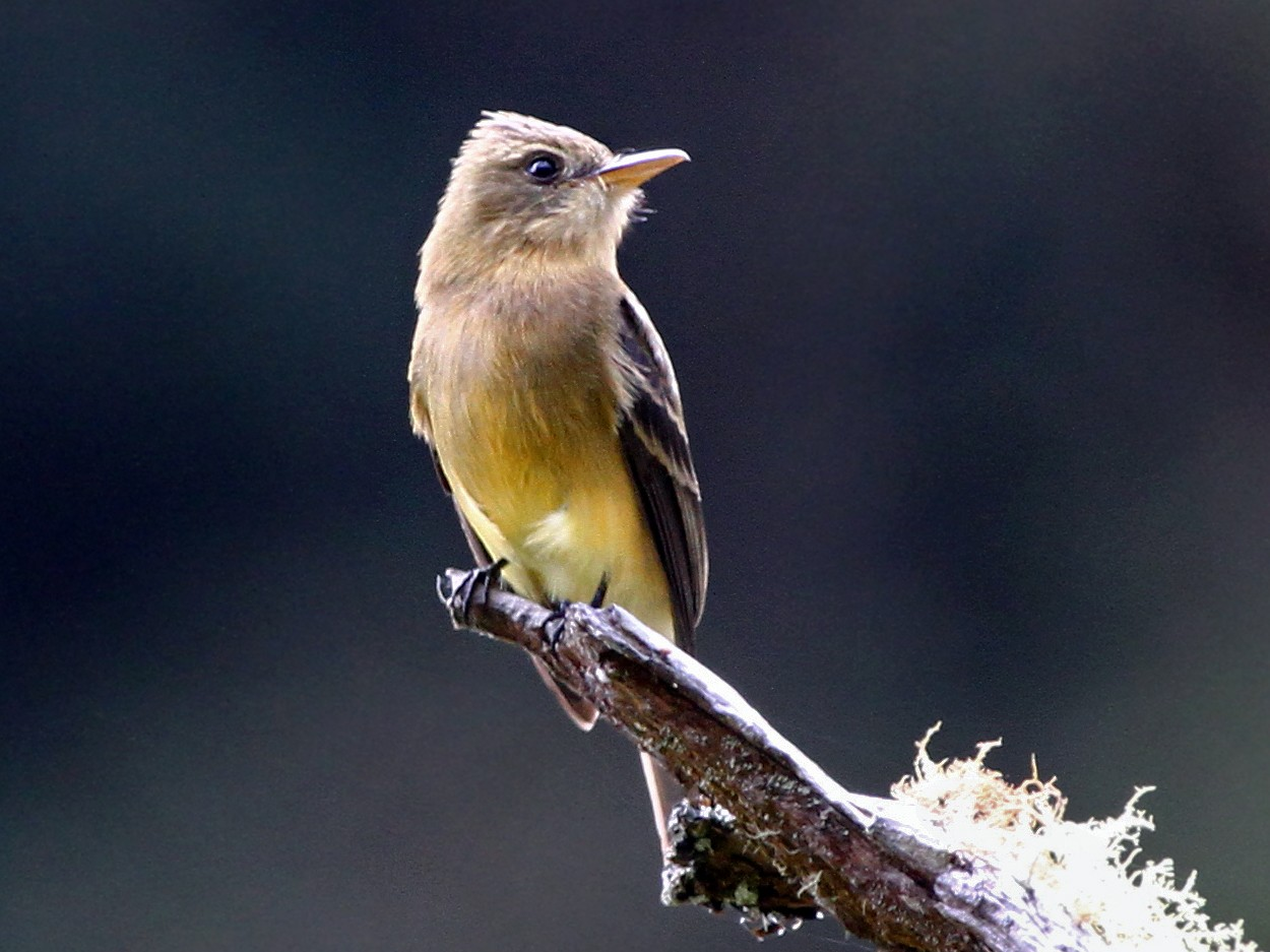 Ochraceous Pewee - Andrew Spencer