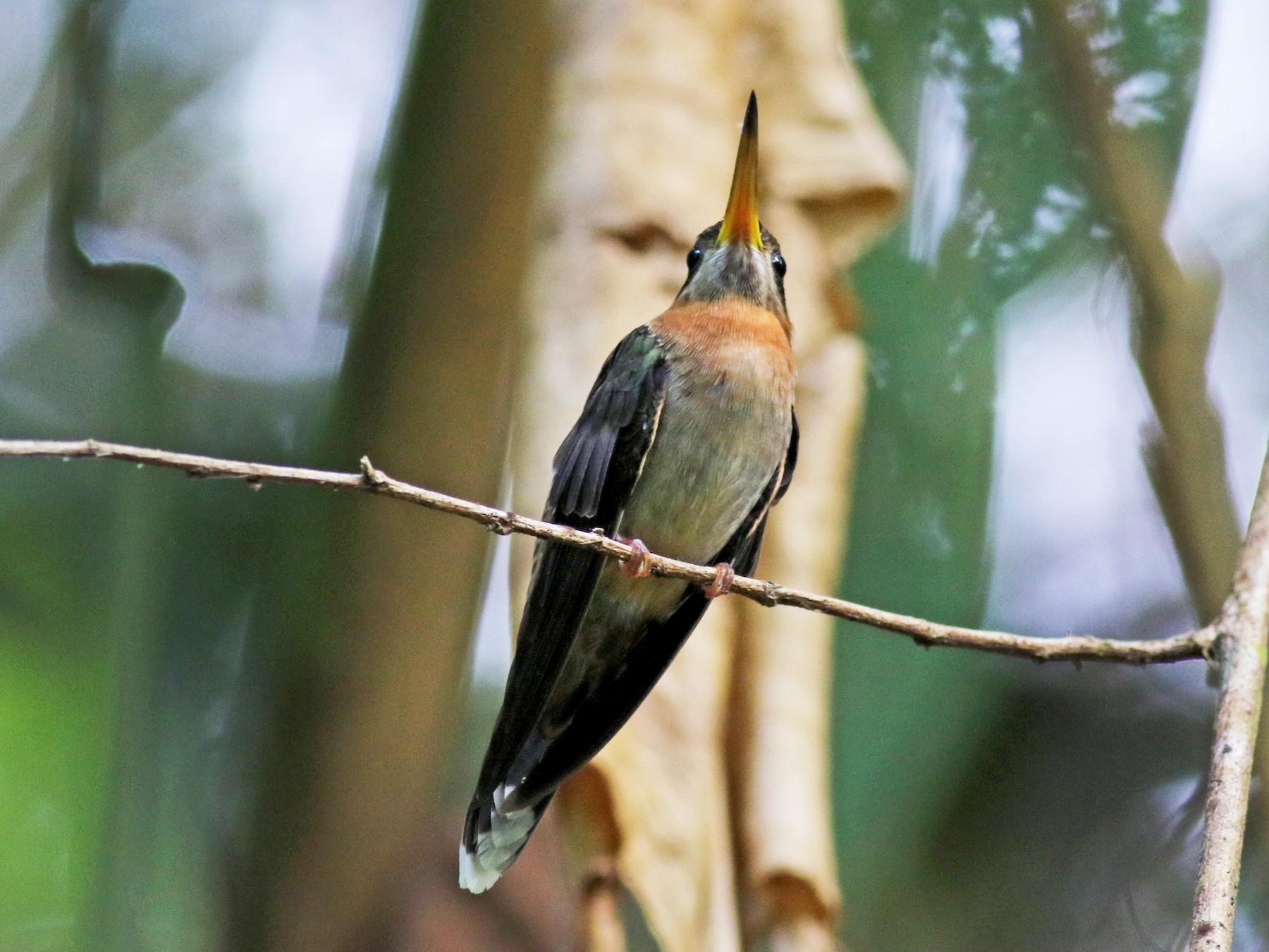 Band-tailed Barbthroat - Jay McGowan