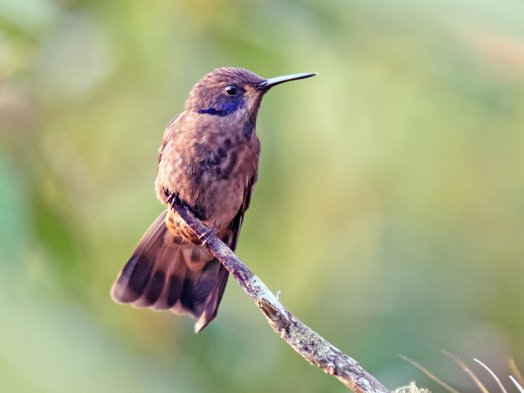 Brown Violetear - Graham Gerdeman