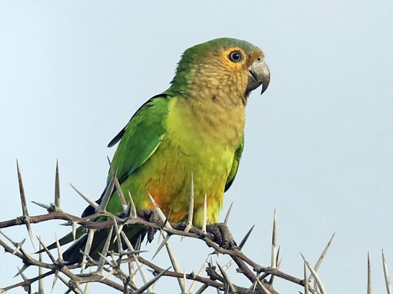 Brown-throated Parakeet - Knut Hansen