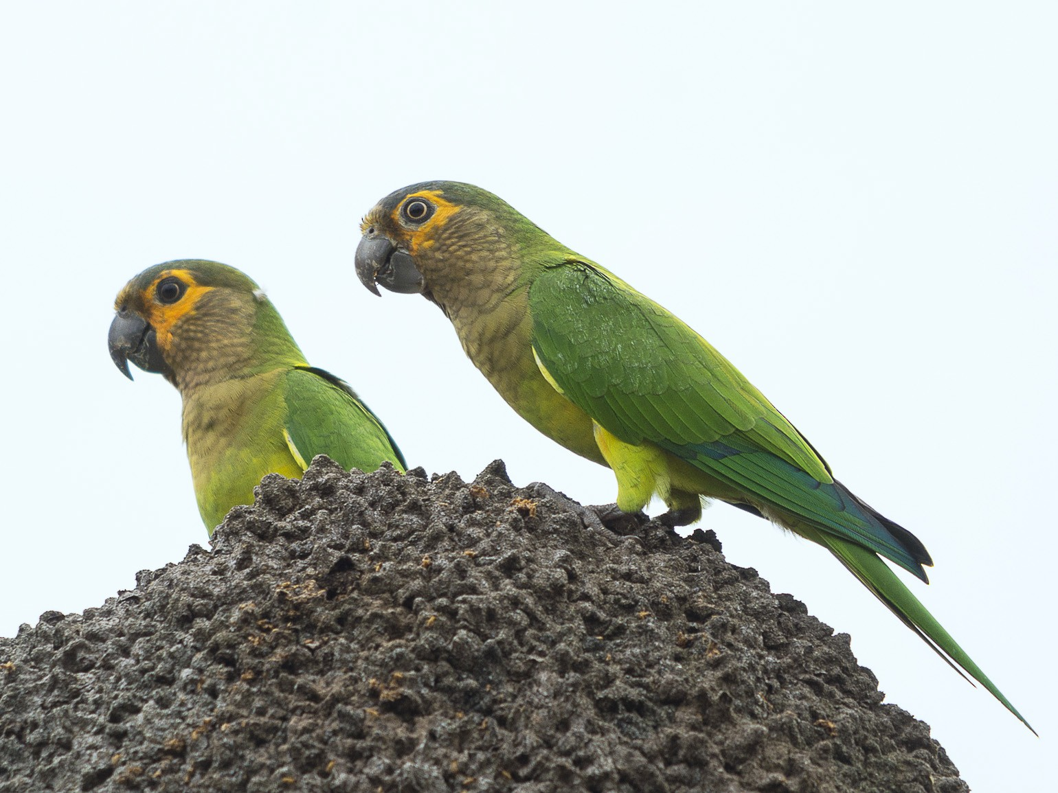 Brown-throated Parakeet - Jerome Foster