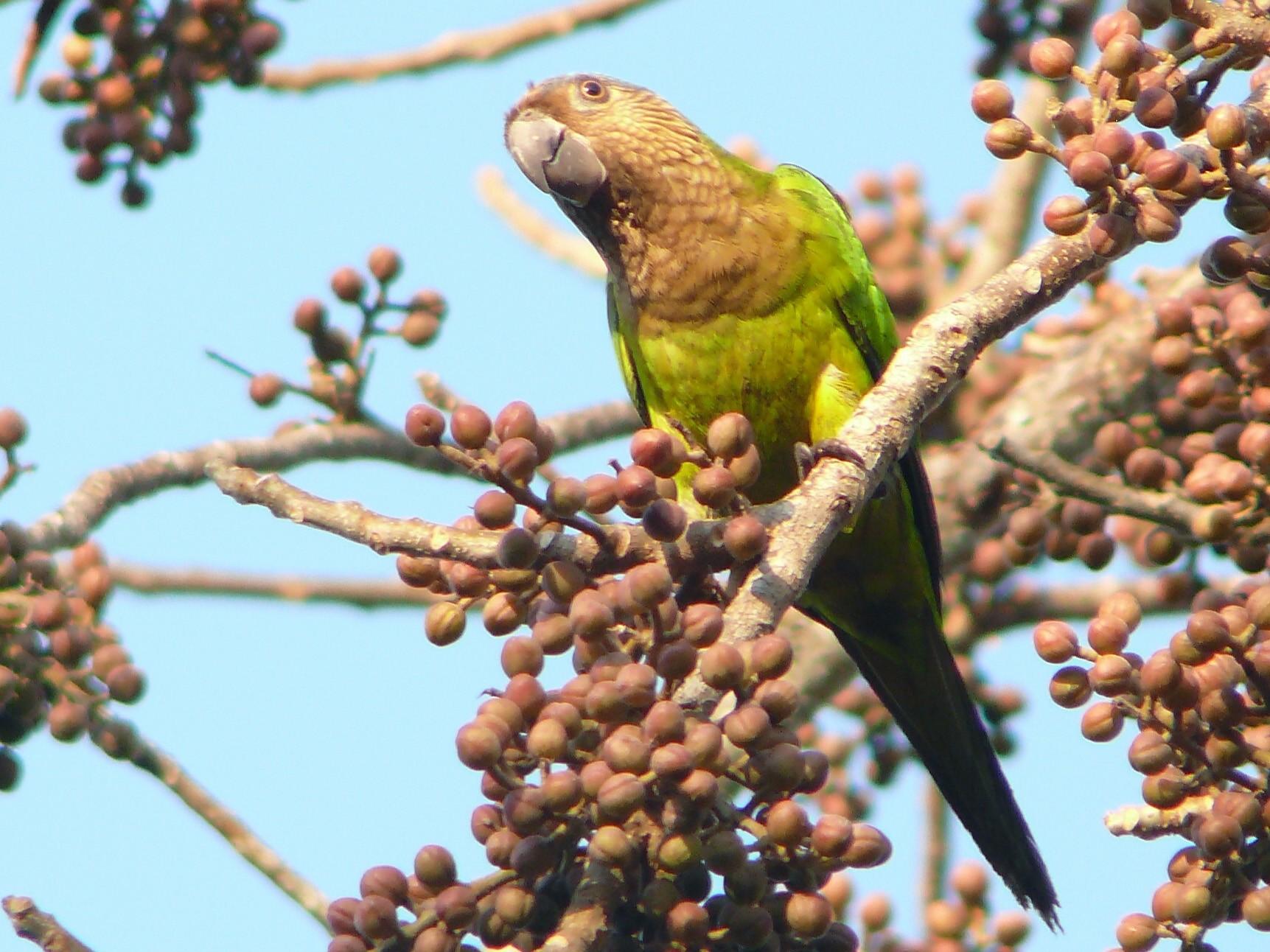 Brown-throated Parakeet - Micheline Bisson