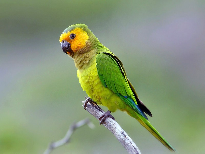 Brown-throated Parakeet - Jeff Kolodzinski