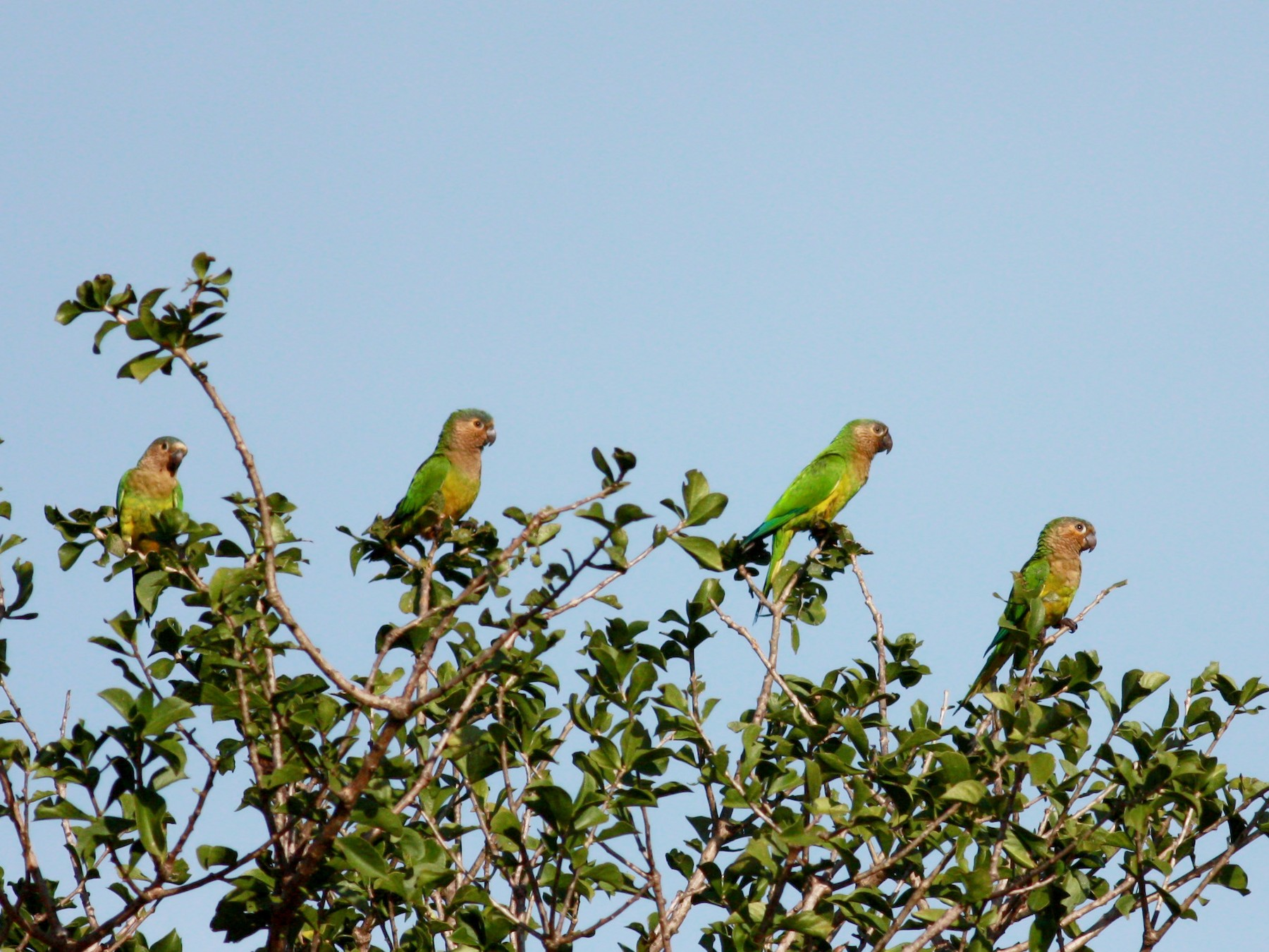 Brown-throated Parakeet - Jay McGowan
