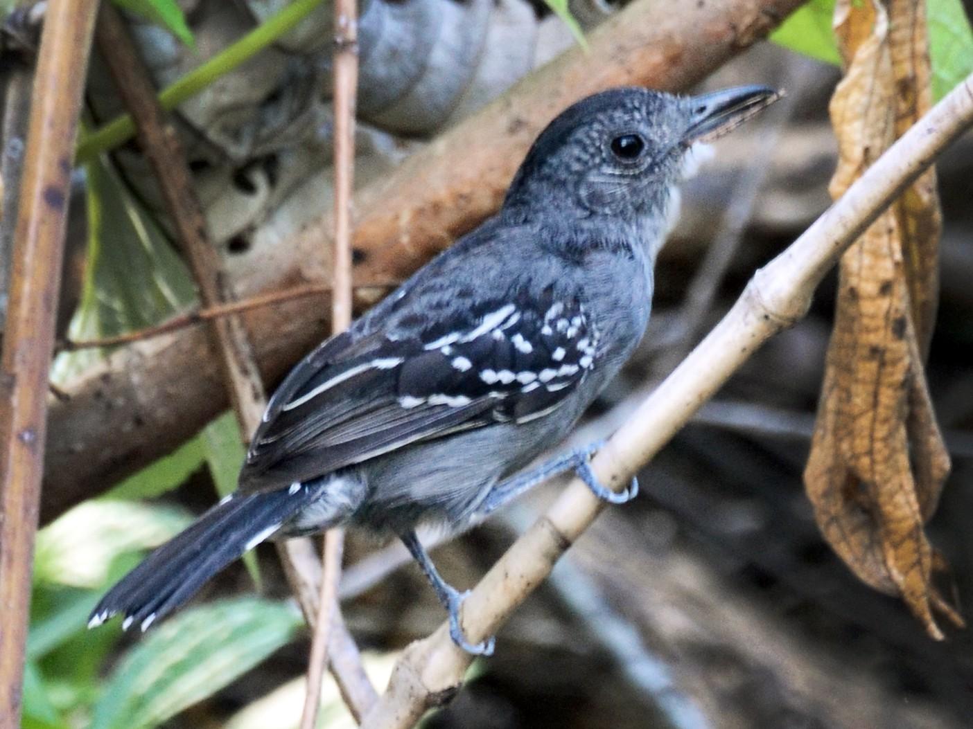 Black-crowned Antshrike - David M. Bell