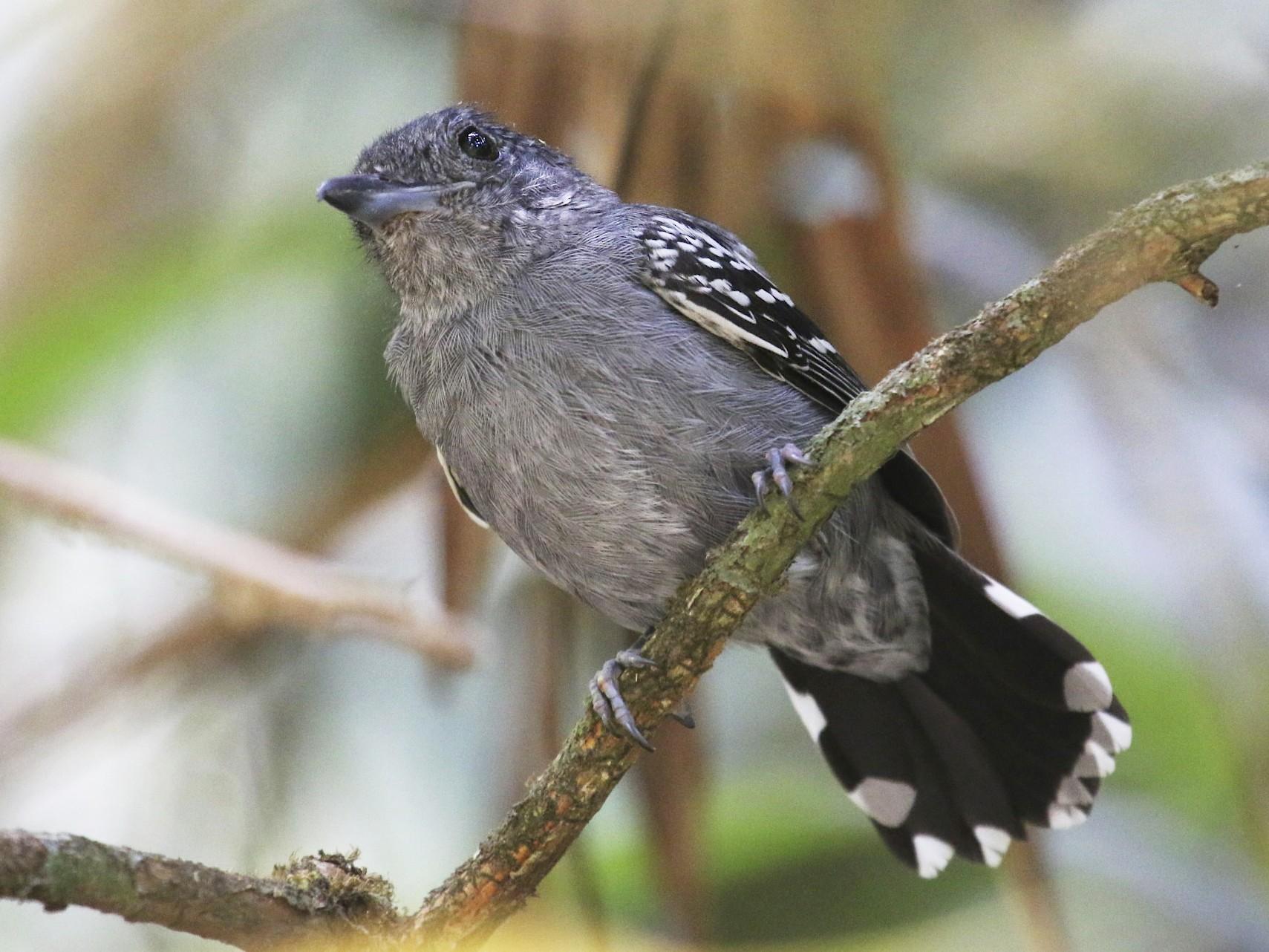 Black-crowned Antshrike - Knut Hansen