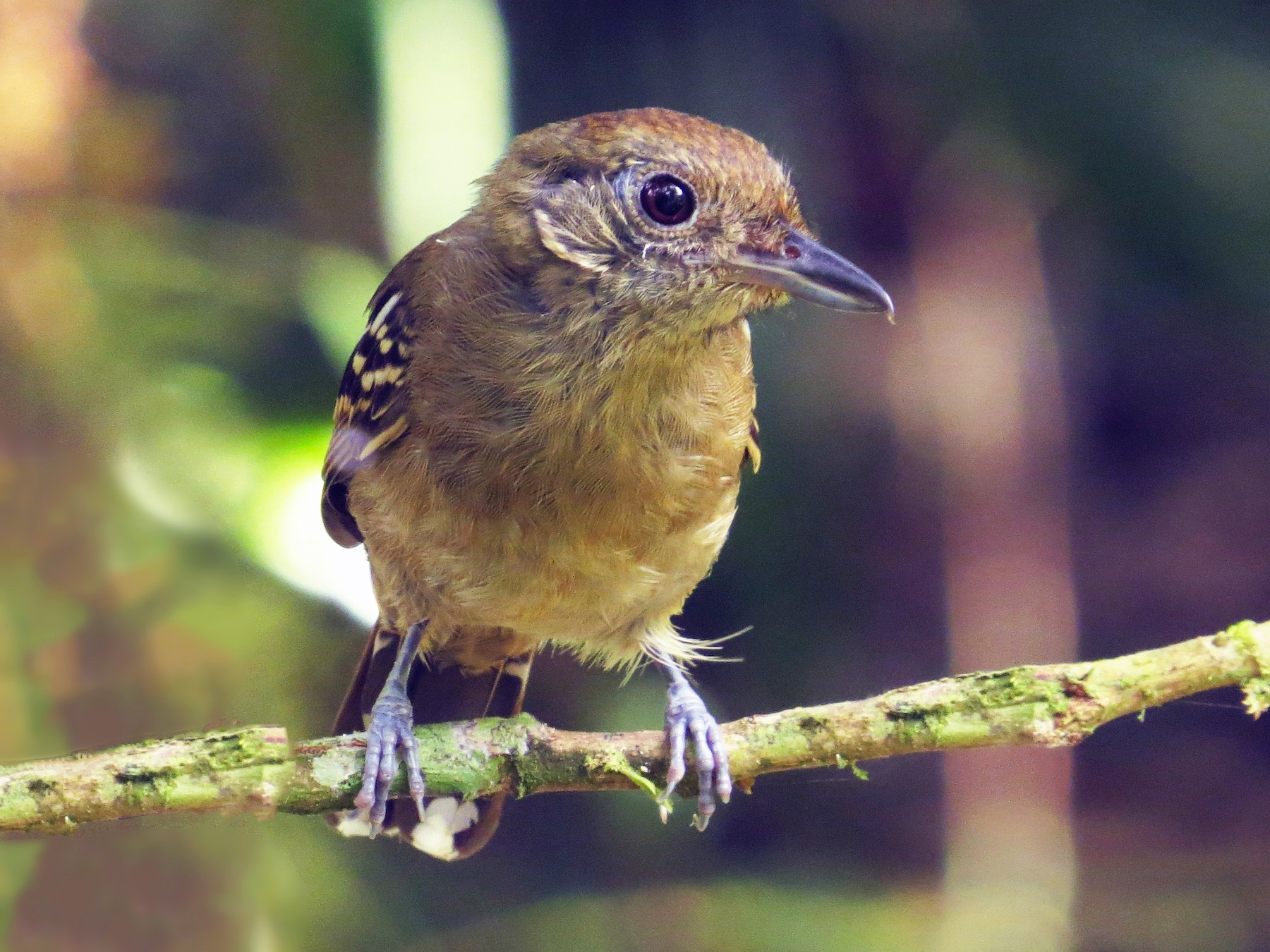 Black-crowned Antshrike - Guillermo Funes