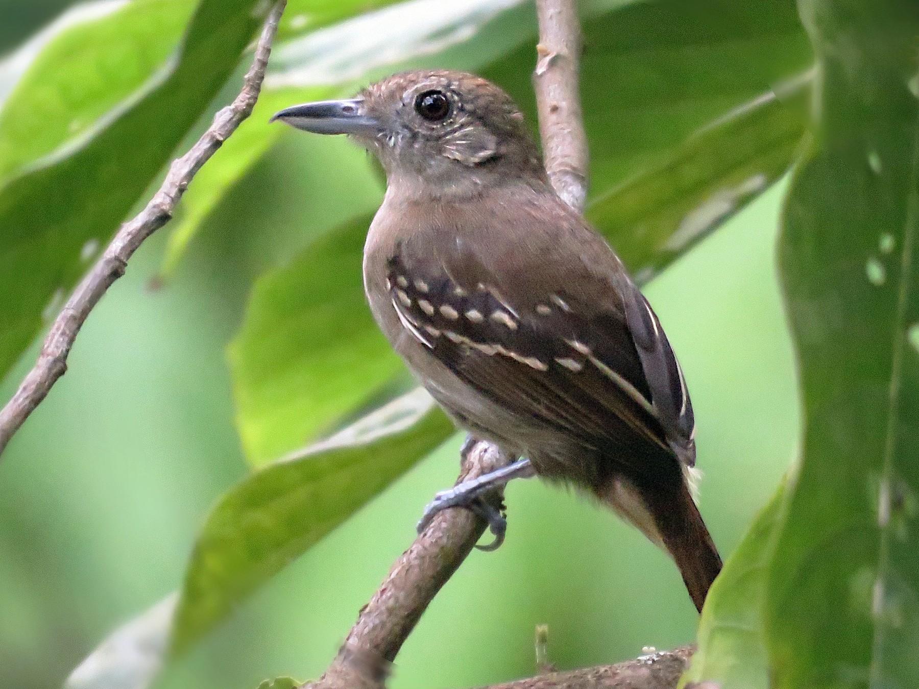 Black-crowned Antshrike - Oscar Ramirez Alan