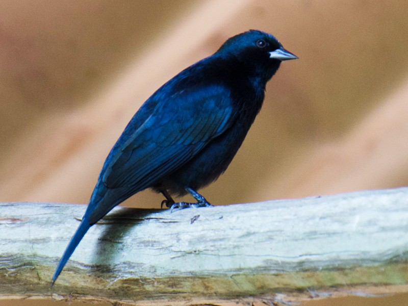 Shiny Cowbird - Mark Davidson