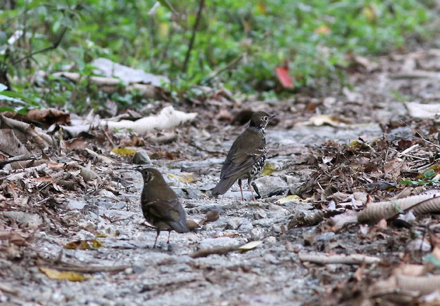 ©Rofikul Islam - Long-tailed Thrush