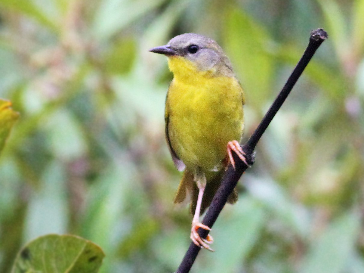 Olive-crowned Yellowthroat - Andrew Spencer