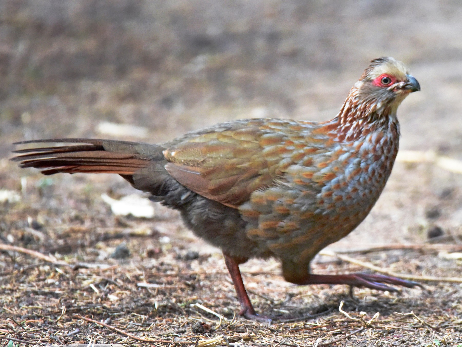 Buffy-crowned Wood-Partridge - Curtis  McCamy