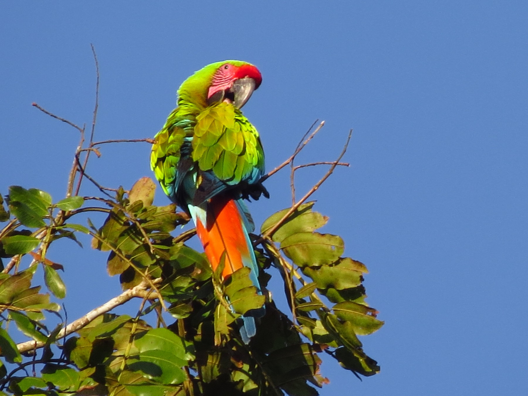 Great Green Macaw - Audrey Whitlock