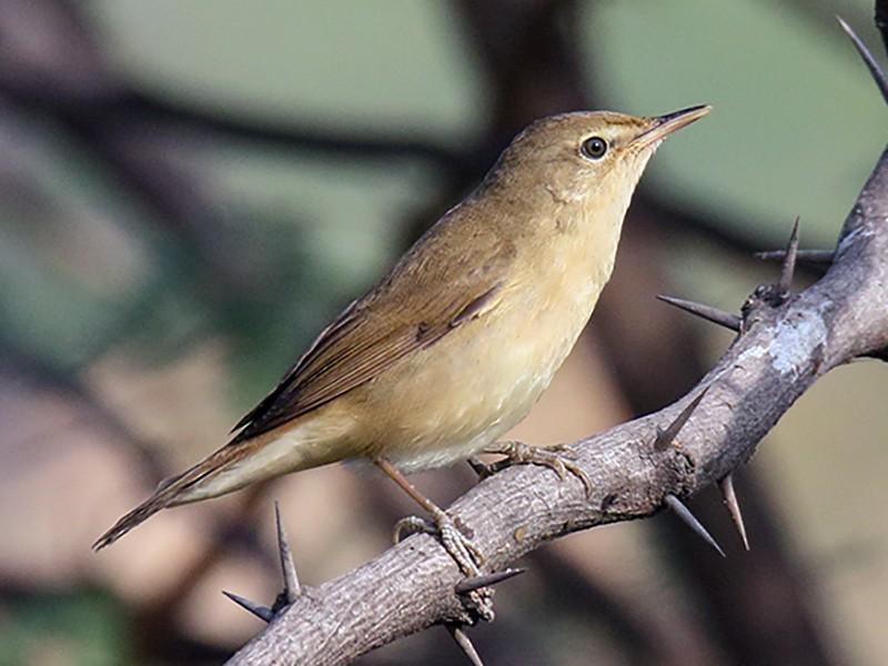 Blyth's Reed Warbler - Gopalakrishna R