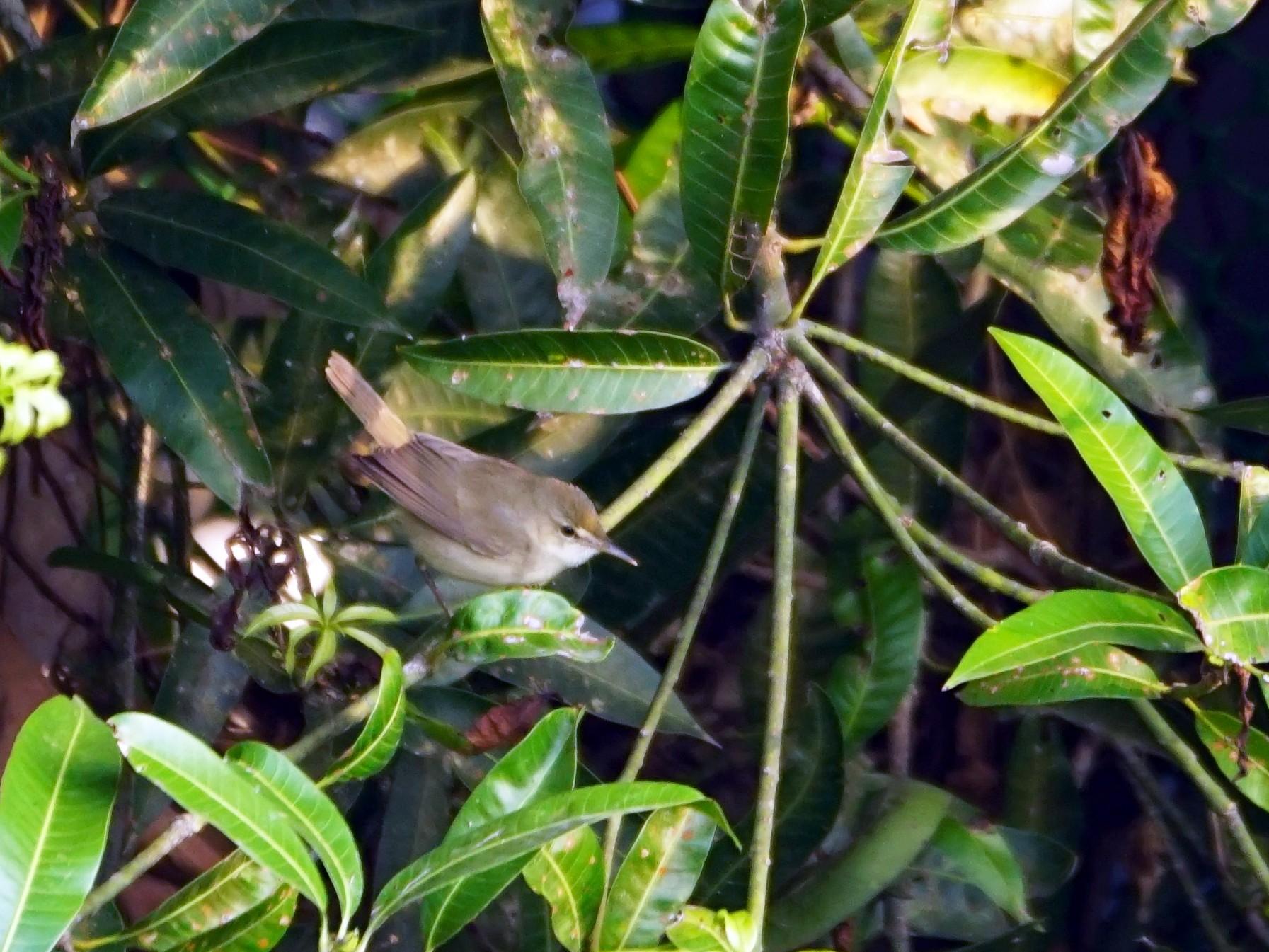 Blyth's Reed Warbler - Nevine Jacob
