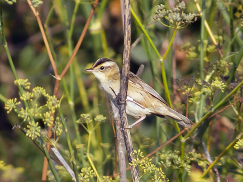 Aquatic Warbler - Vasco Flores Cruz