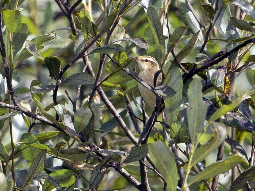 Aquatic Warbler - PMDE ESTEVES