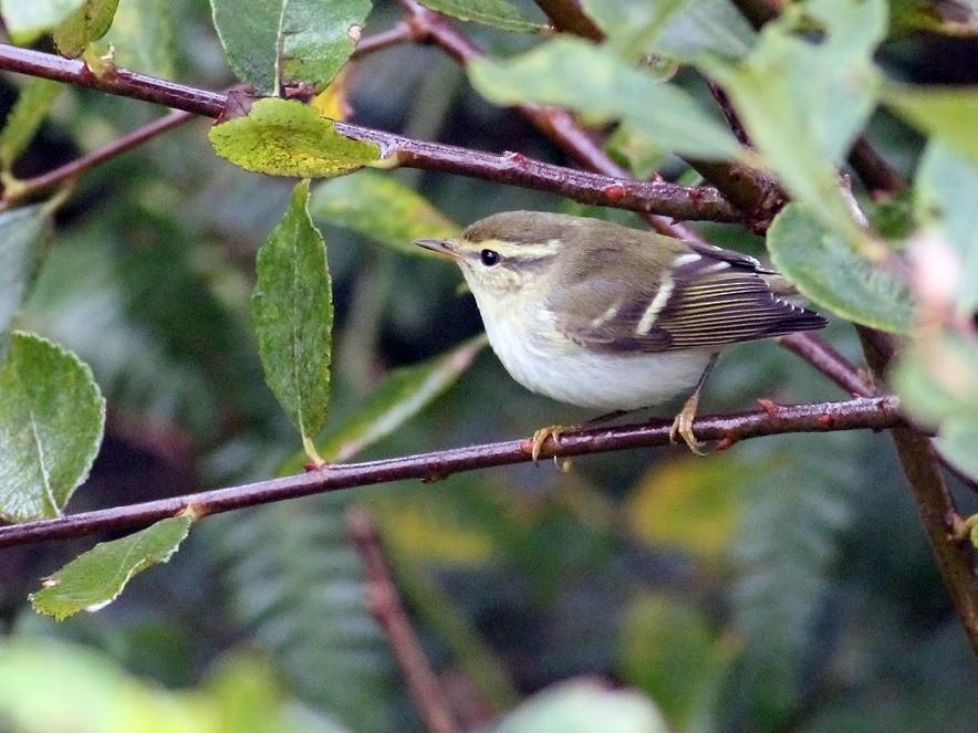 Yellow-browed Warbler - Adrien Mauss