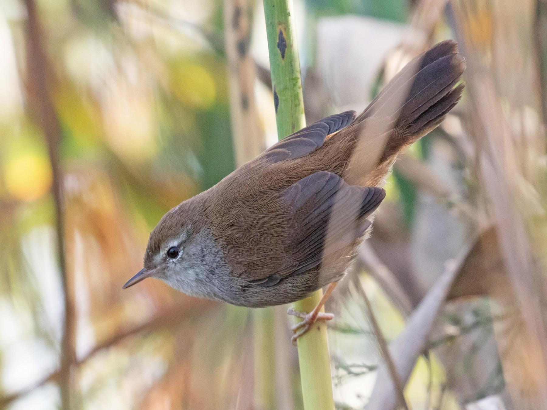 Cetti's Warbler - Enric Fernandez