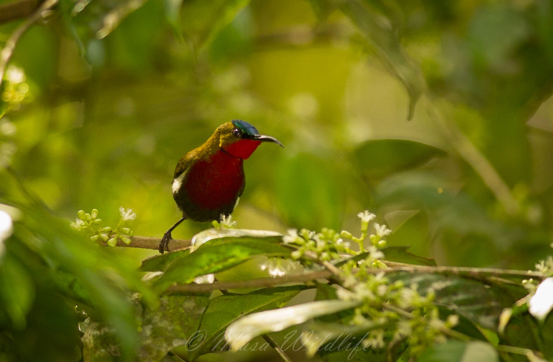 White-flanked Sunbird - Mark Rademaker