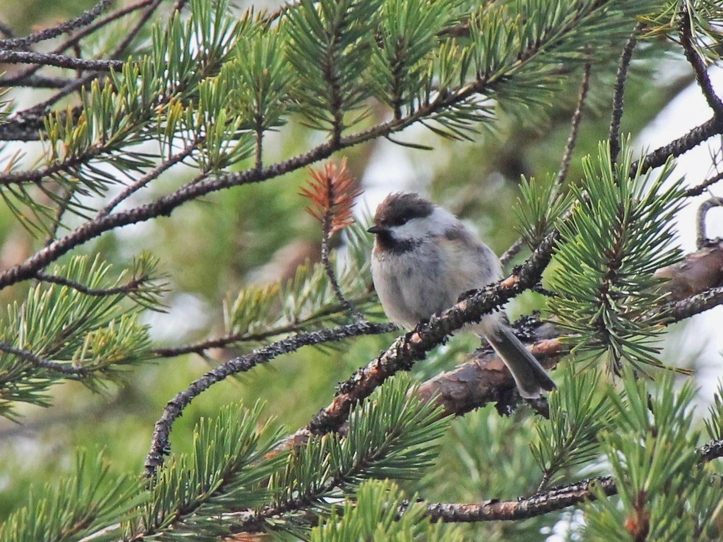 Gray-headed Chickadee - Paul Chapman