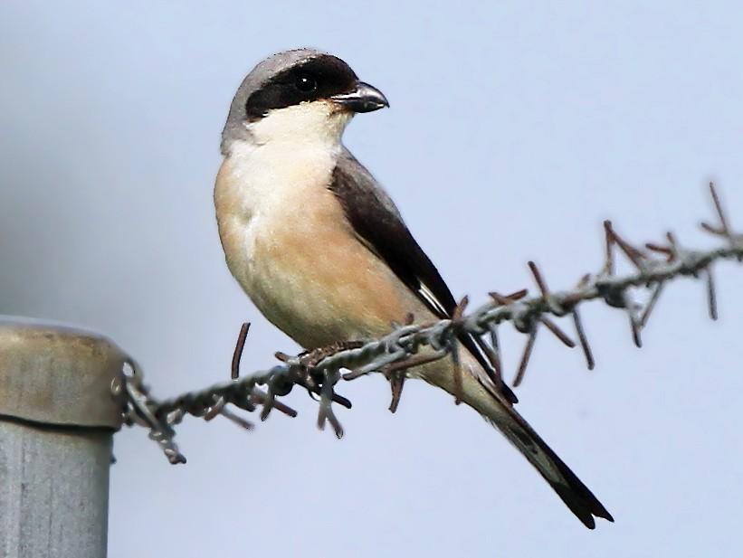 Lesser Gray Shrike - Christoph Moning