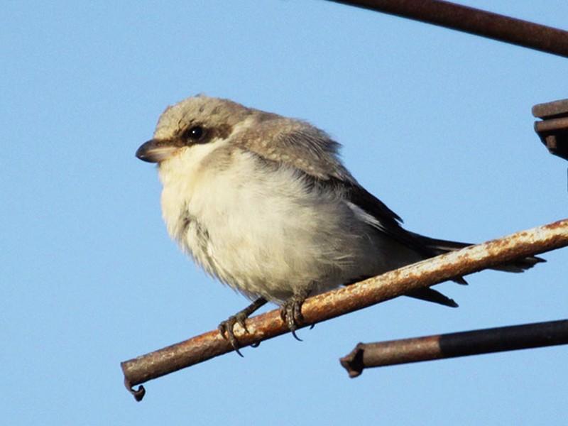 Lesser Gray Shrike - Ricardo Brandao