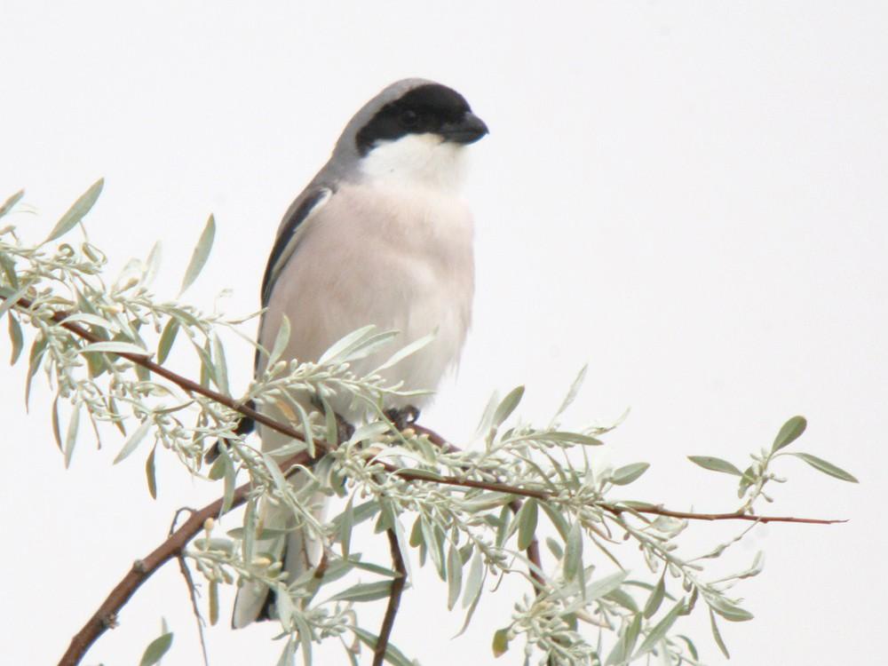 Lesser Gray Shrike - Corey Finger