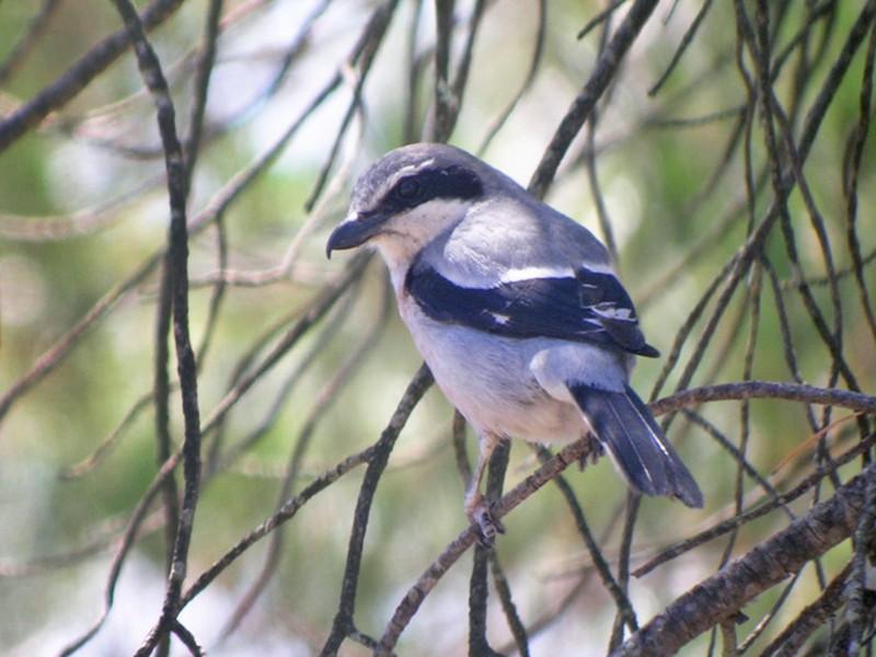 Iberian Gray Shrike - Catherine McFadden
