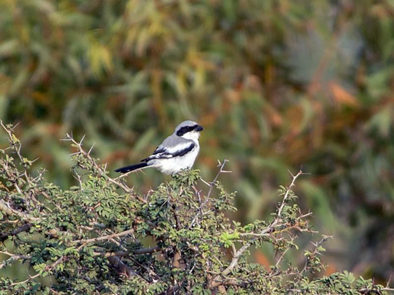 Great Gray Shrike - Prem Prakash Garg