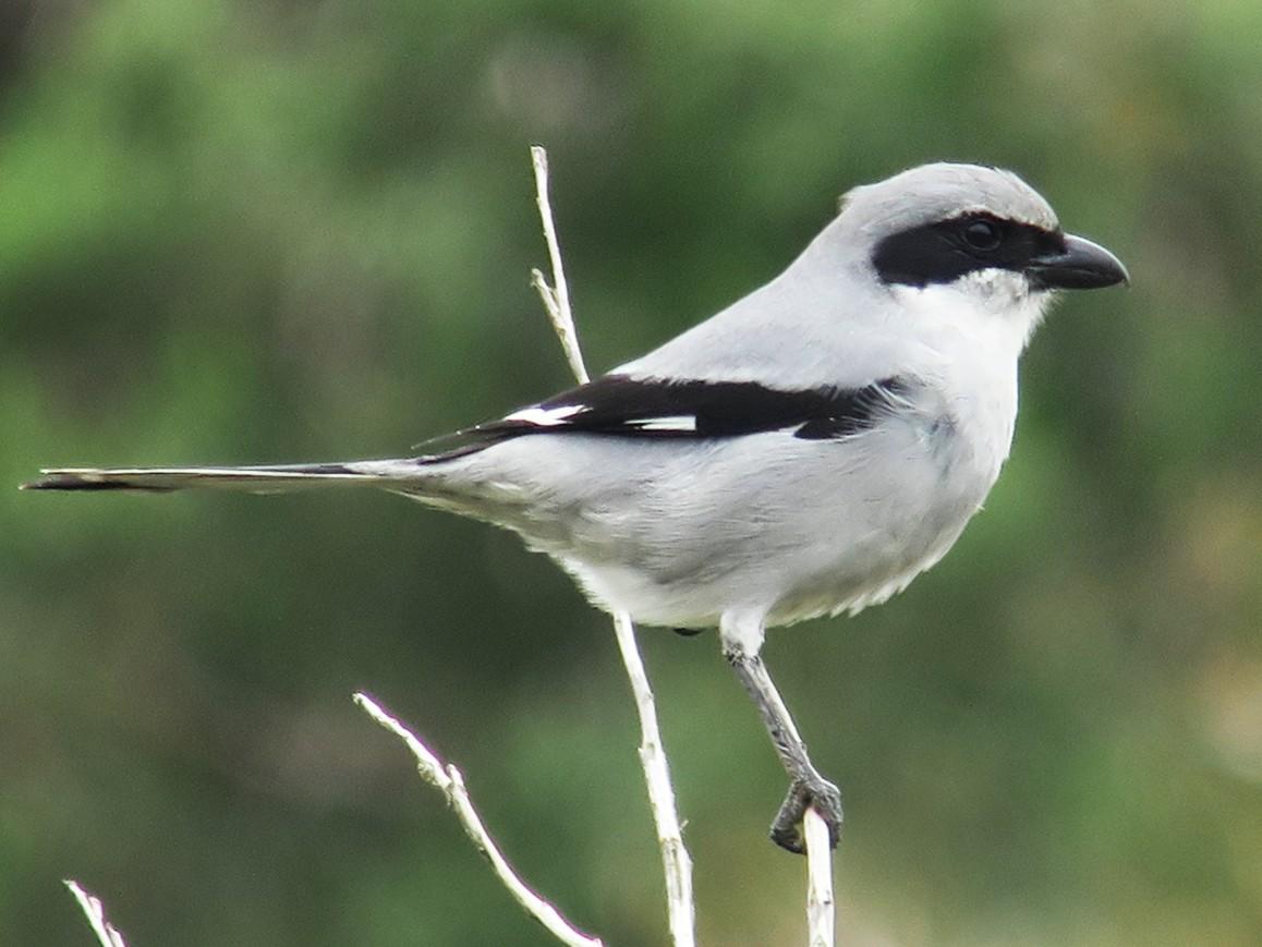 Great Gray Shrike - Cédric Mroczko