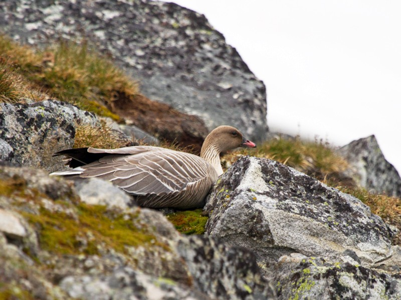 Pink-footed Goose - Christophe Gouraud
