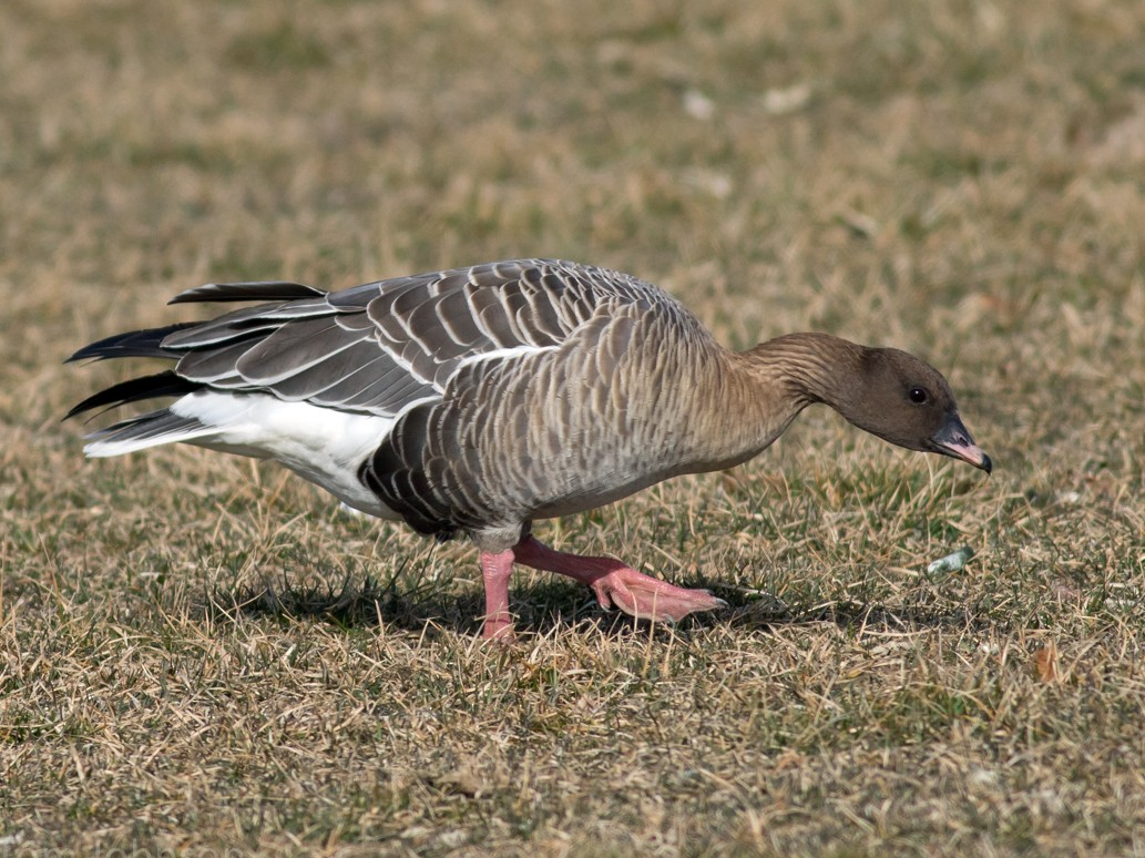 Pink-footed Goose - Tom Johnson