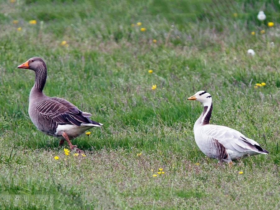 Bar-headed Goose - Yann Kolbeinsson