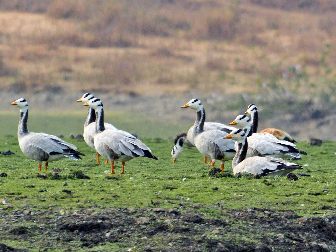 Bar-headed Goose - kiran more