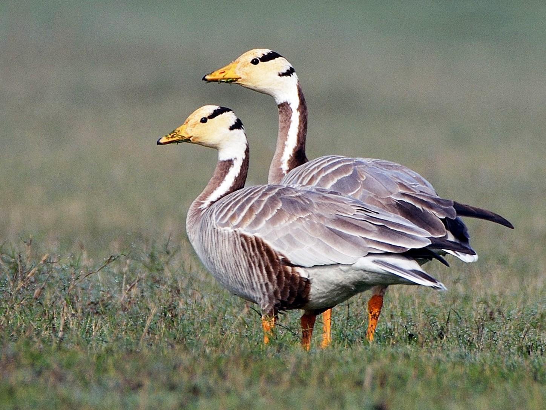 Bar-headed Goose - Bhaskar pandeti