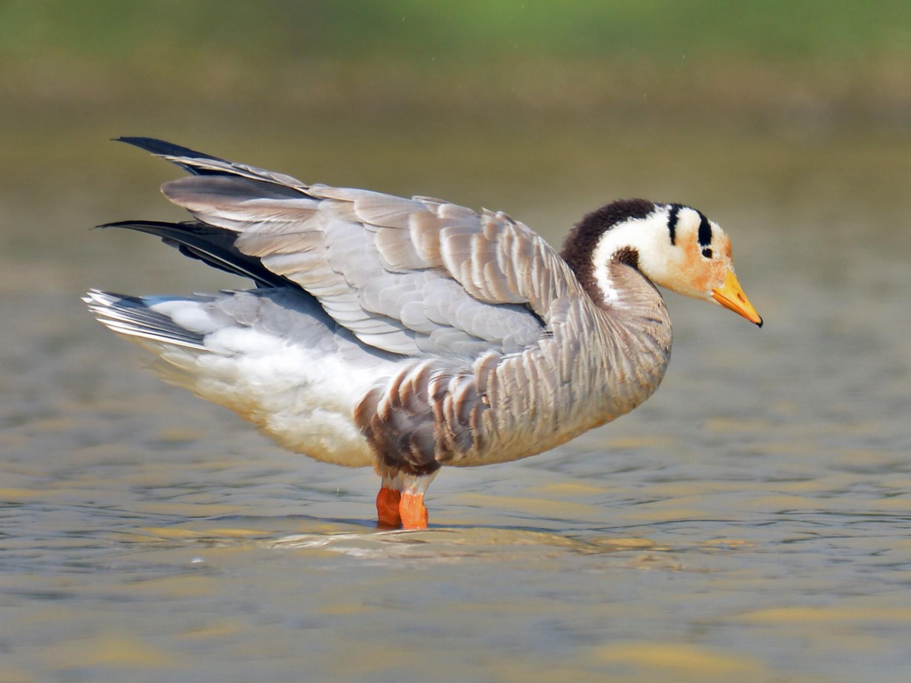 Bar-headed Goose - Renuka Vijayaraghavan