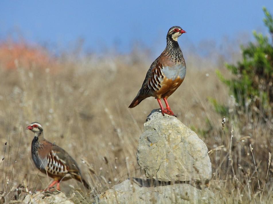 Red-legged Partridge - António Gonçalves