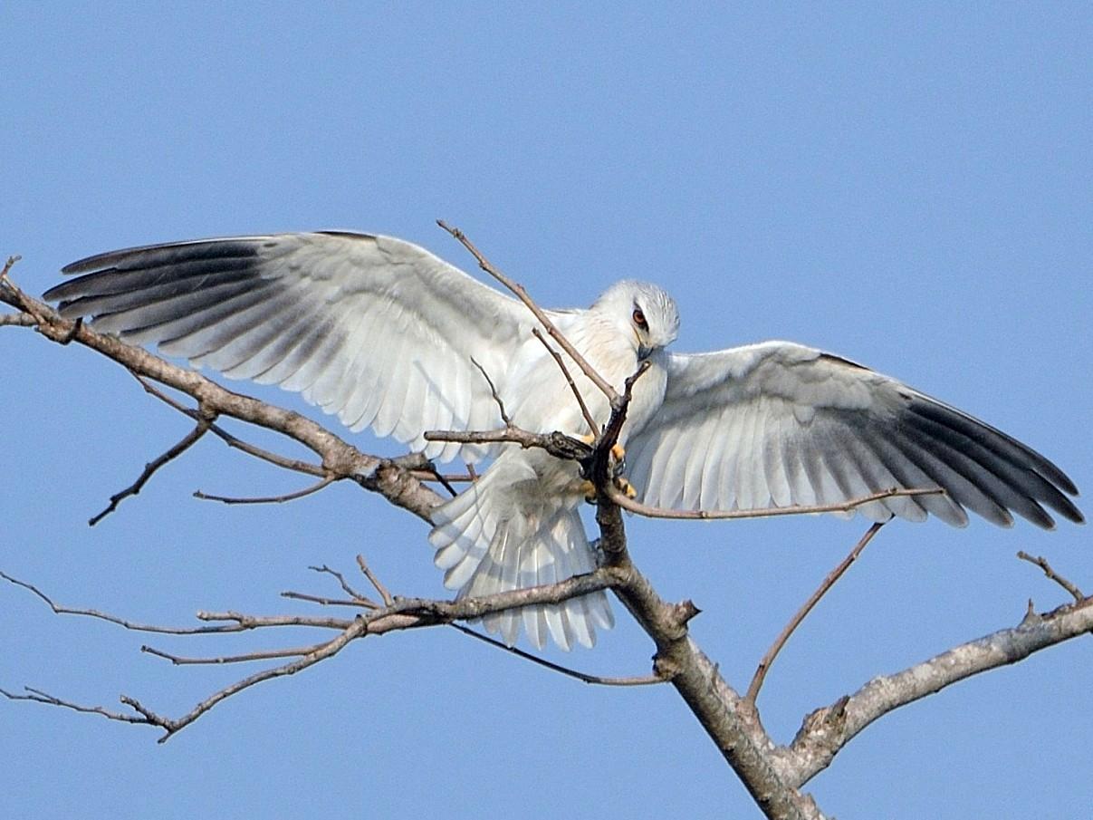 Black-winged Kite - Bhaskar pandeti