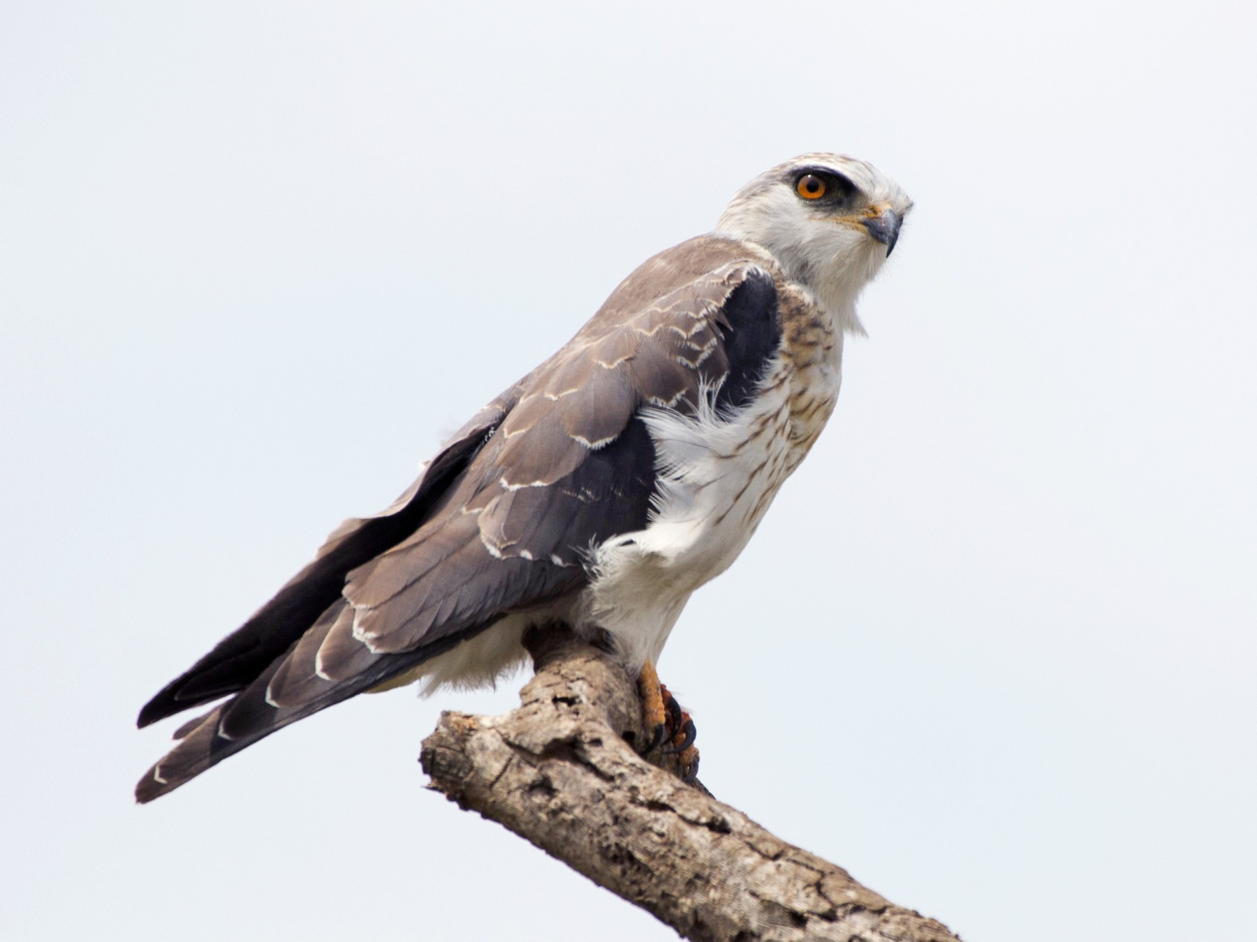 Black-winged Kite - Simon Carter