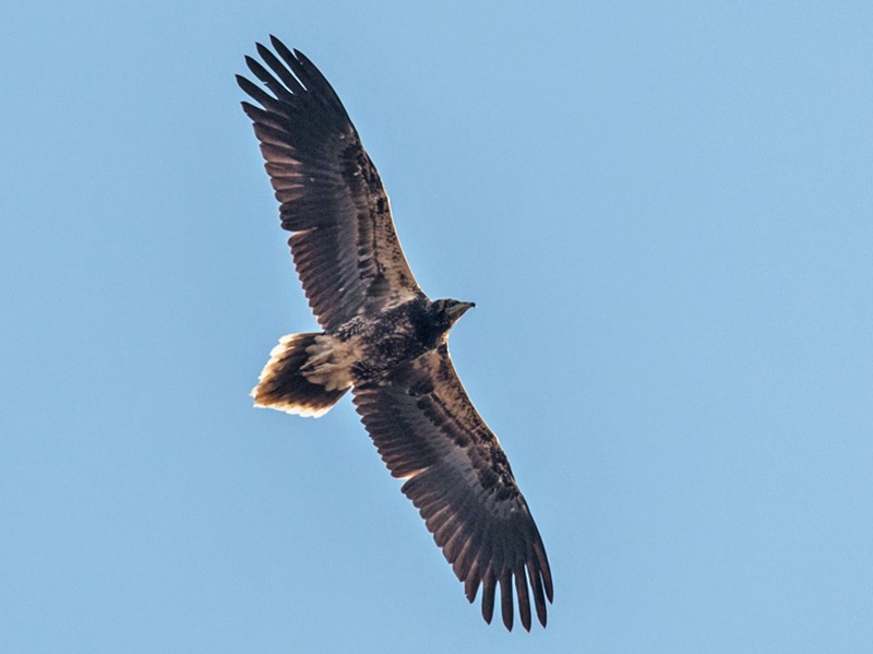 Egyptian Vulture - Pedro Nicolau